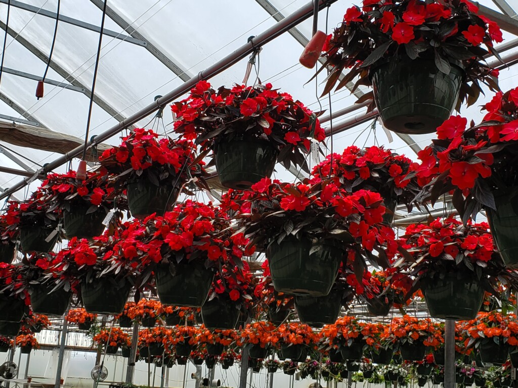impatiens hanging in a greenhouse in townsend ma