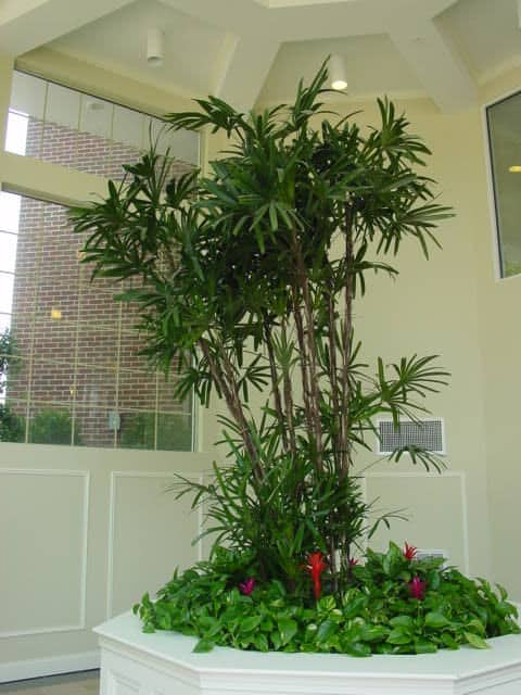 A giant Rhapis Palm, Lady Palm, in Wakefield MA