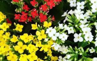 kalanchoe plants in massachusetts plant services