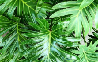 a philodendron plant in an office building lobby in Danvers MA