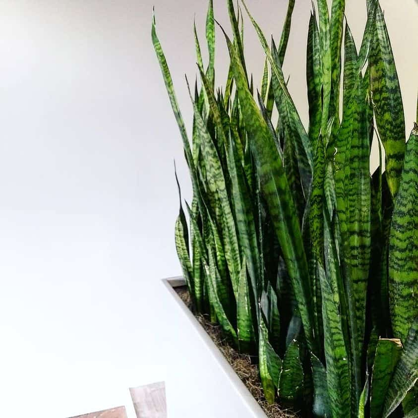 sanseveria plants in methuen massachusetts