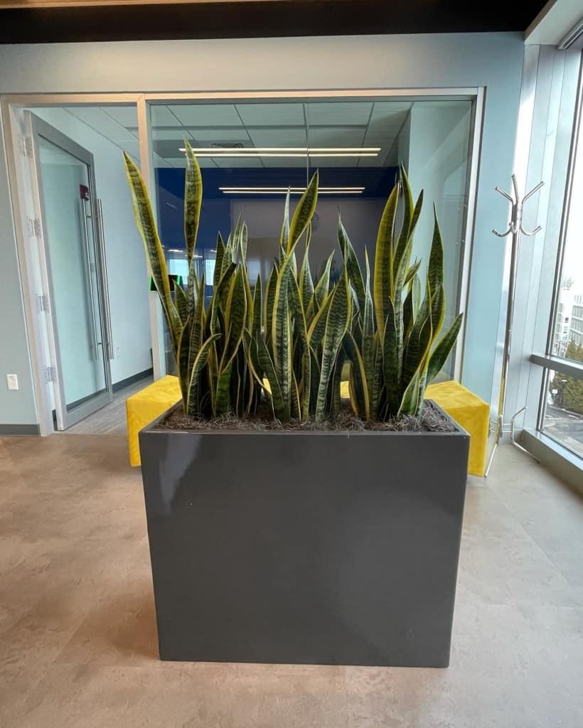 snake plants privacy planter