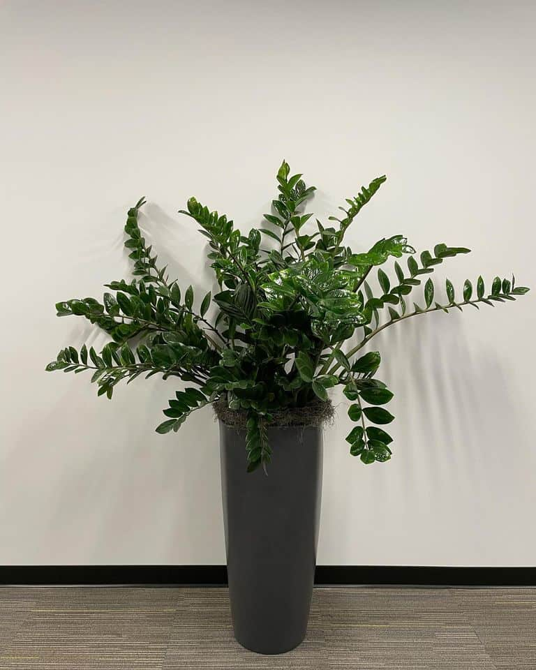 a zz plant in a massachusetts office builidng