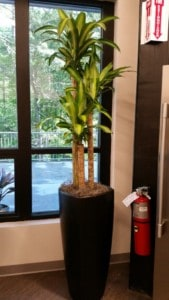 massengeana cane plant in a tall planter in taunton massachusetts